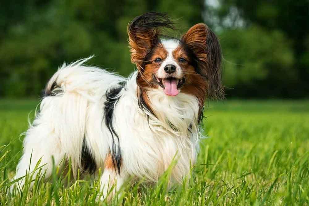 Small dog breeds Papillon