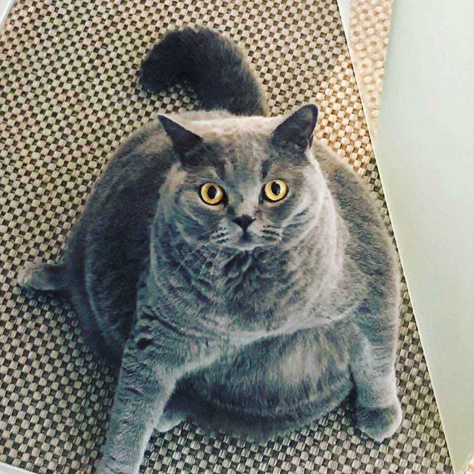 Pitoe round cat with scoliosis condition