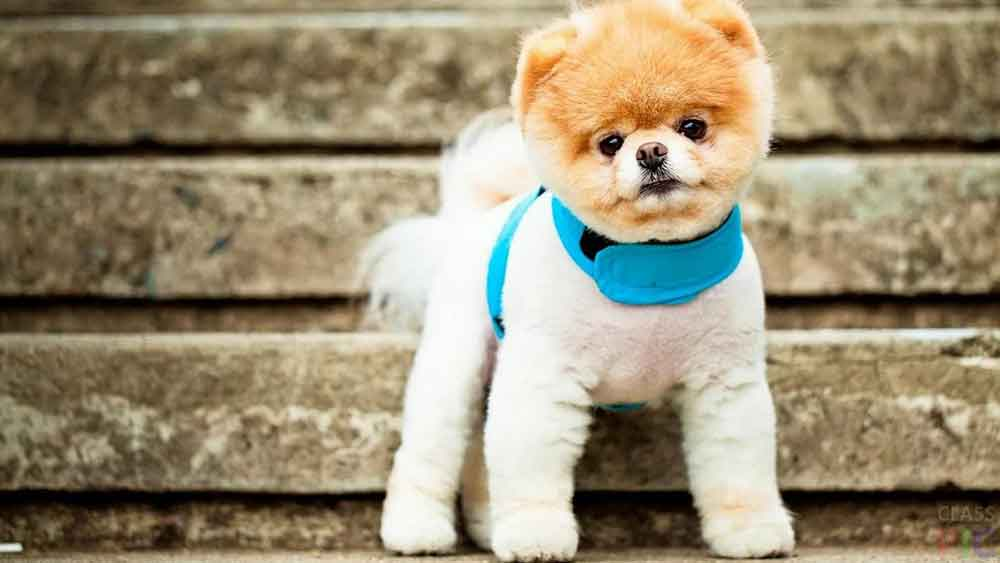 Small dog breeds Pomeranian