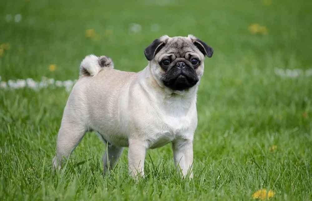 Small dog breeds  Pug