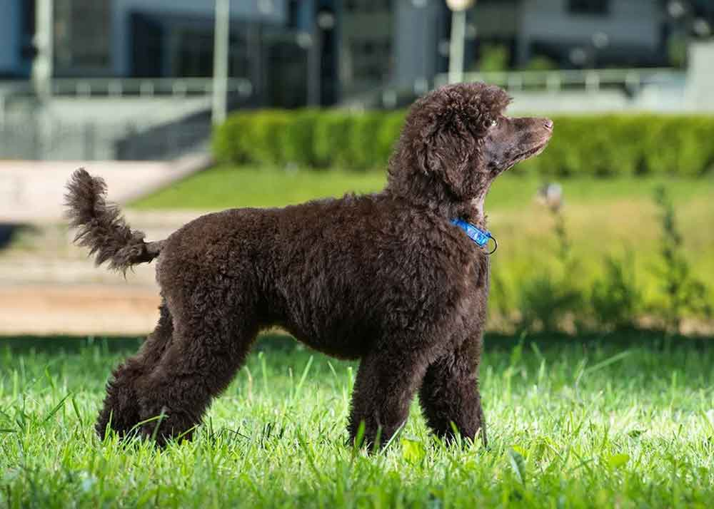 Small dog breeds Toy poodle