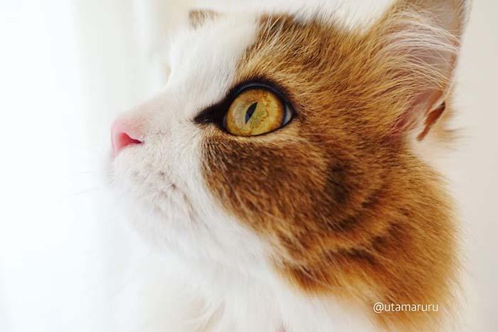 Utamaruru Stunning Cats With The Most Beautiful Eyes