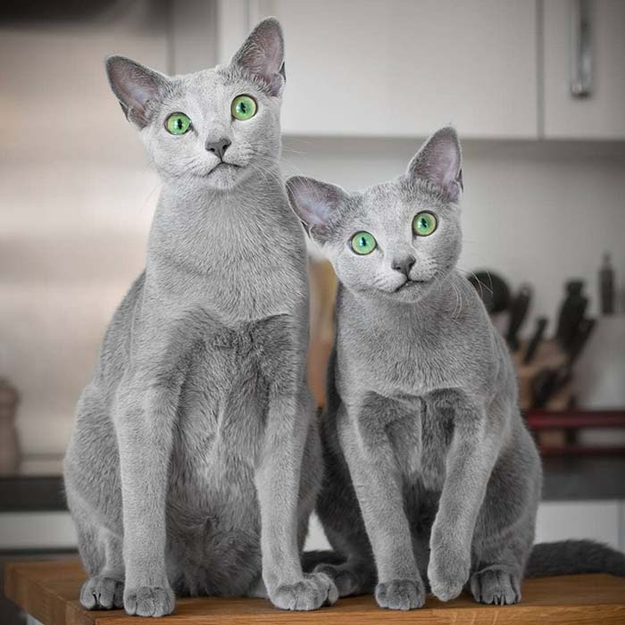 Xafi and Auri Stunning Cats With The Most Beautiful Eyes