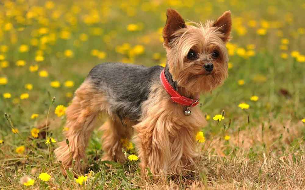 Small dog breeds Yorkshire Terrier