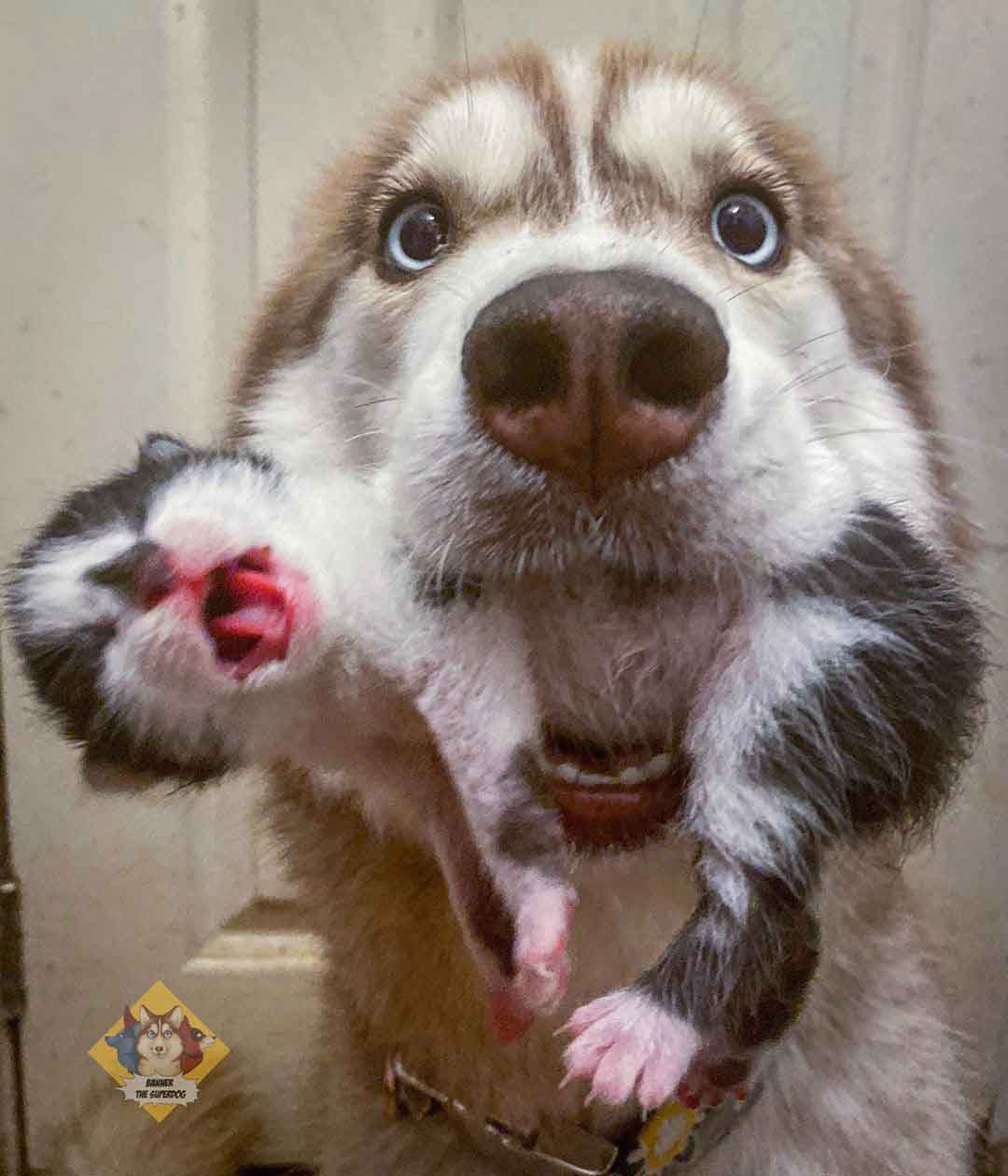banner husky rescues newborn kittens