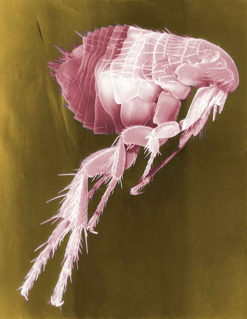 flea siphonaptera insect parasite