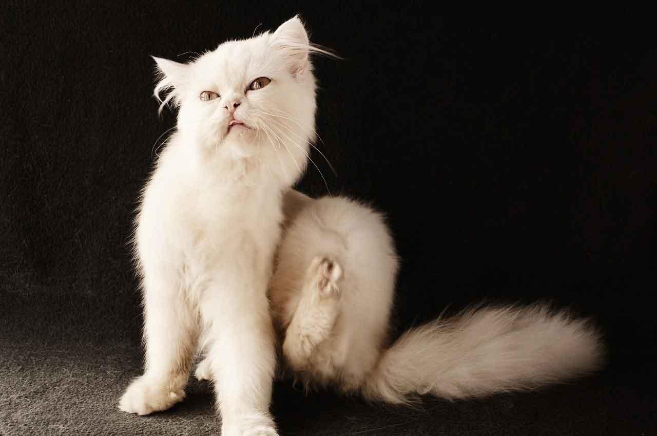 remove fleas cats