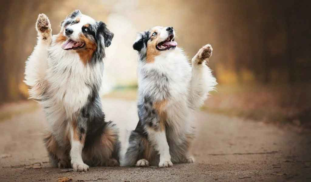 most obedient dog breeds Australian Shepherd