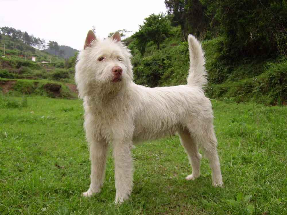 chinese dog breeds Xiasi Dog
