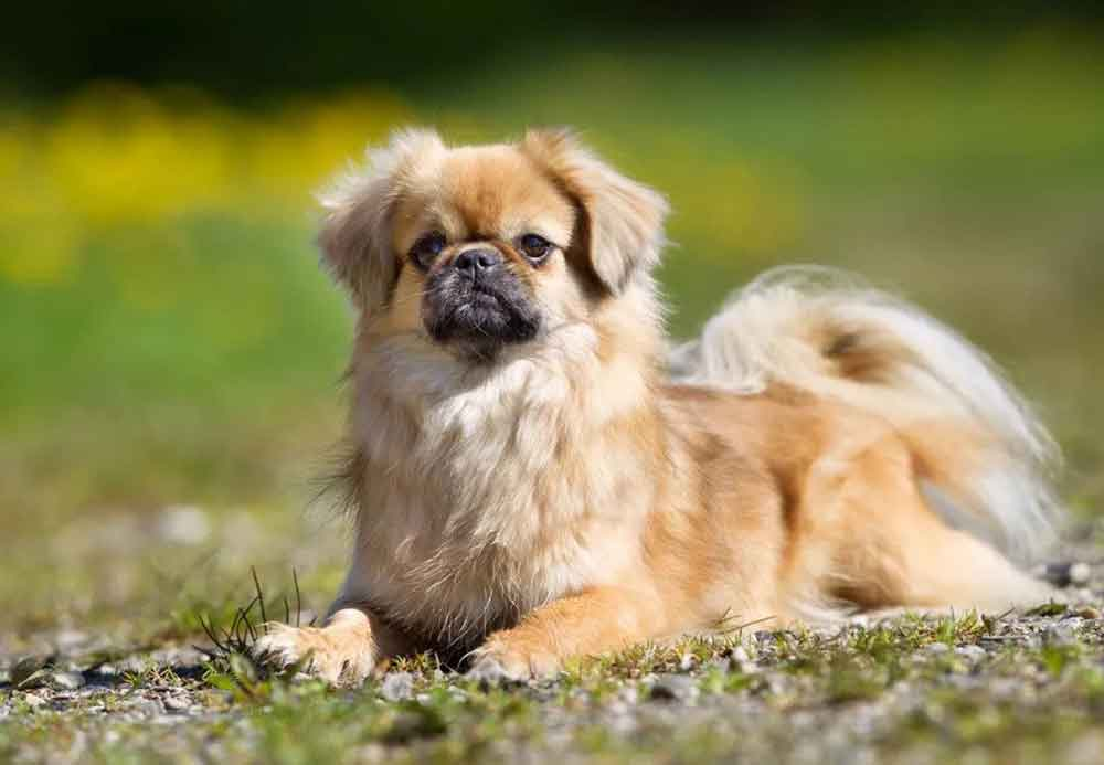 chinese dog breeds Tibetan spaniel