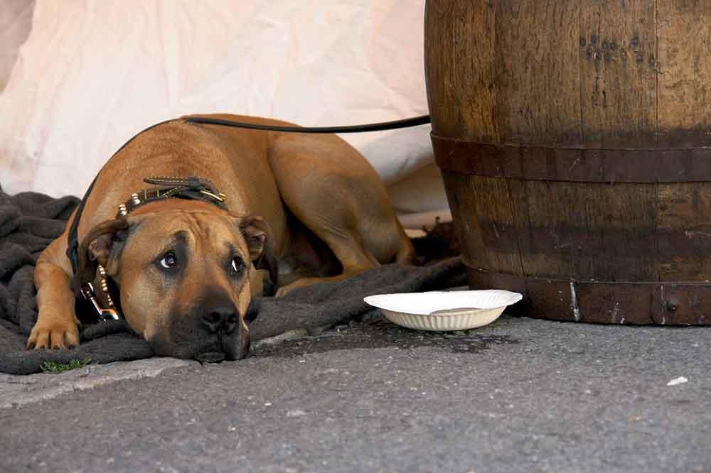 Distemper Dogs