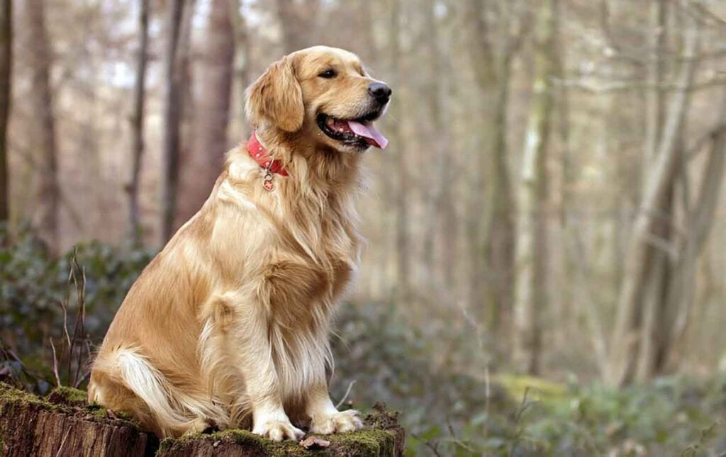 most obedient dog breeds Golden Retriever