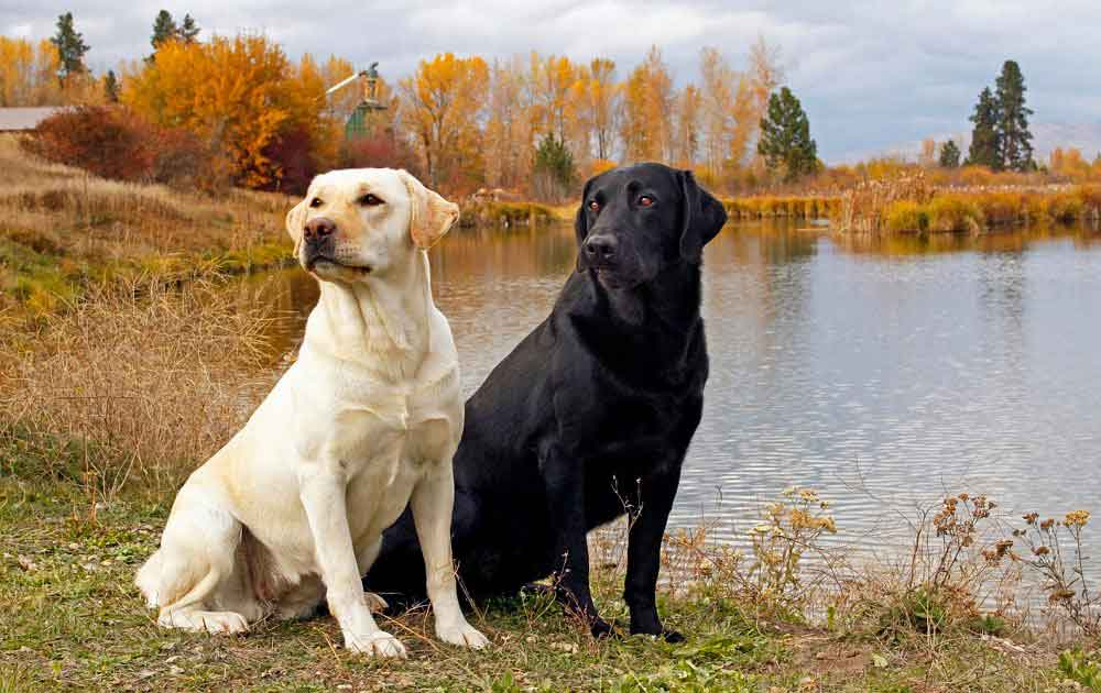 most obedient dog breeds Labrador Retriever