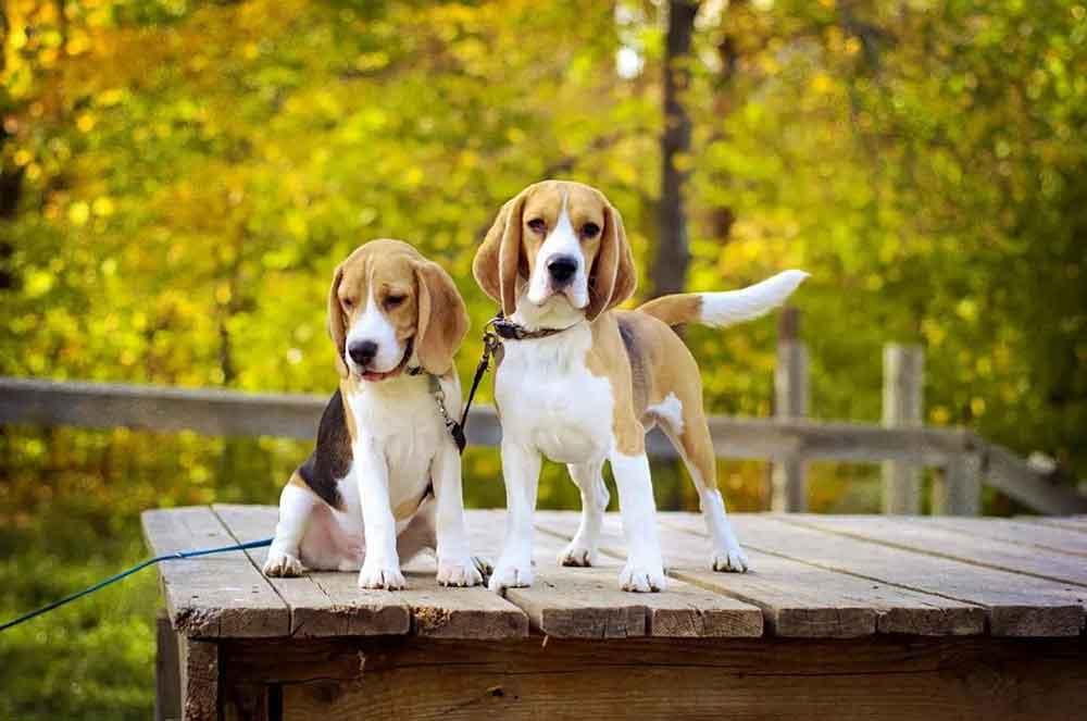 Most Popular Dog Breeds Beagle
