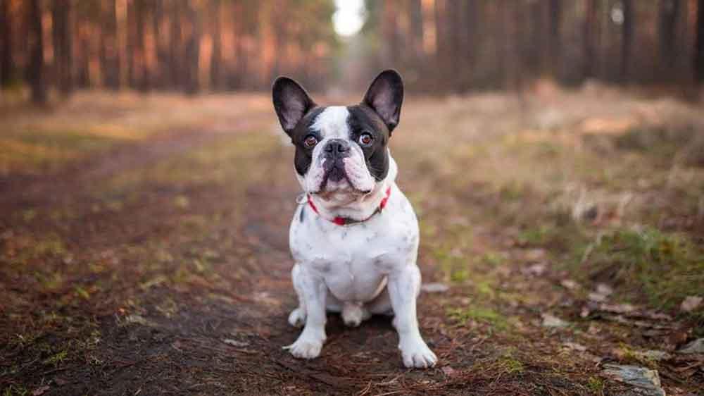 Most Popular Dog Breeds French Bulldog