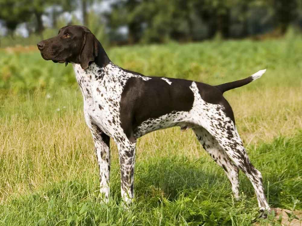 Most Popular Dog Breeds German Shorthair Pointer