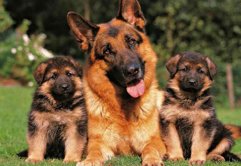 Most Popular Dog Breeds German shepherd