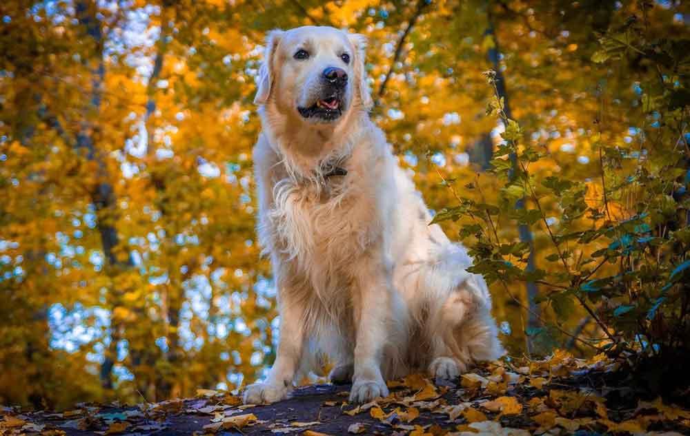 Most Popular Dog Breeds Golden Retriever