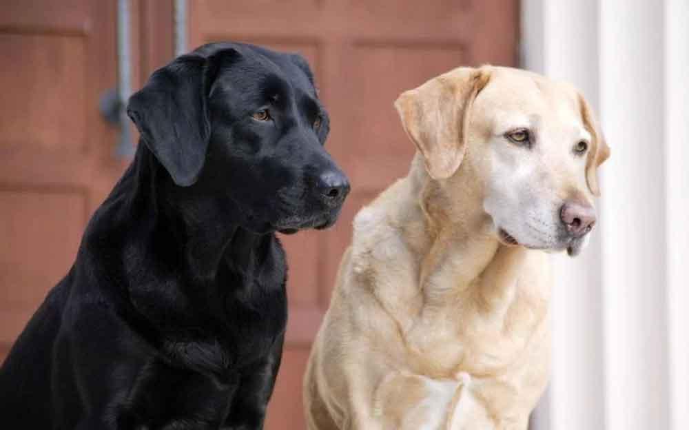 Most Popular Dog Breeds Labrador Retriever