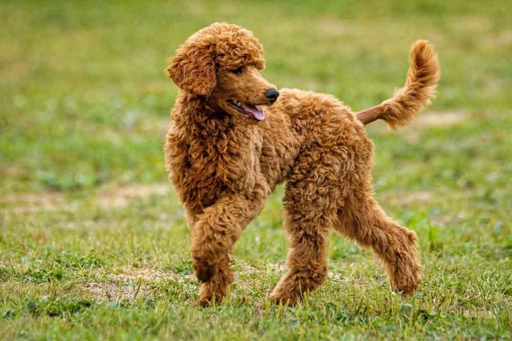 Most Popular Dog Breeds Poodle