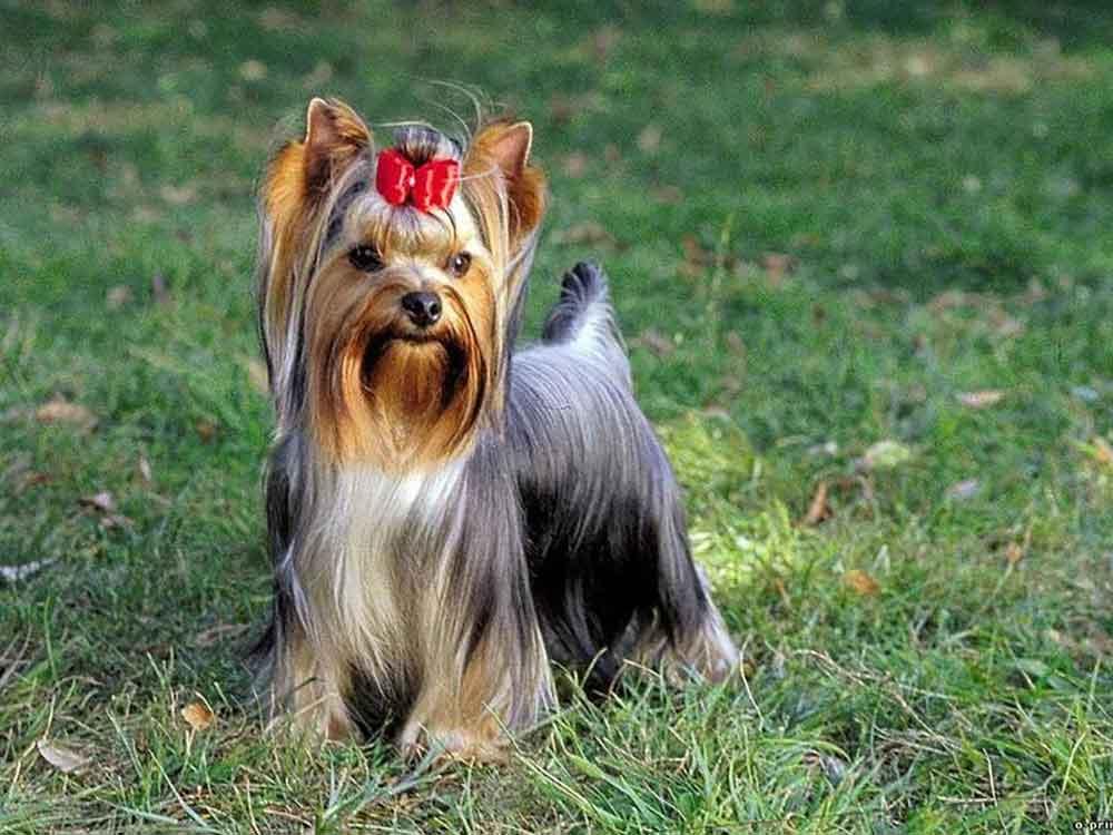 Most Popular Dog Breeds Yorkshire Terrier