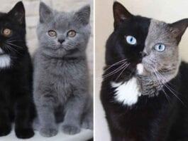 narnia Cat Split Colored face kittens