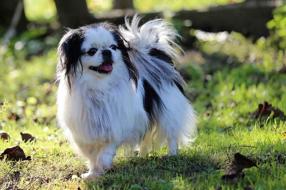chinese dog breeds Japanese Chin