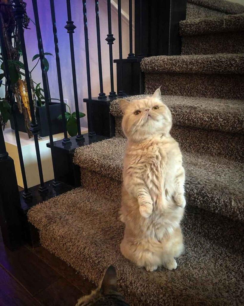 george cat standing 2 legs george2legs