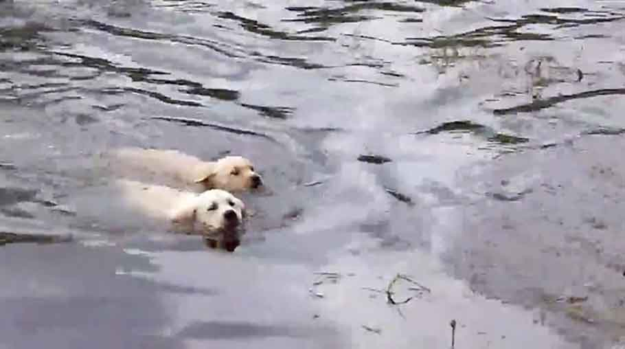 labrador dog mom teaching puppies how to swim