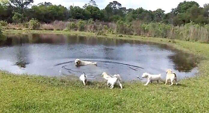 labrador dog mom teaching puppies how to swim