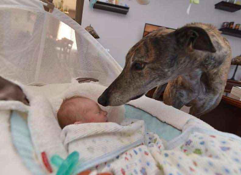 rescue greyhound dog baby brother