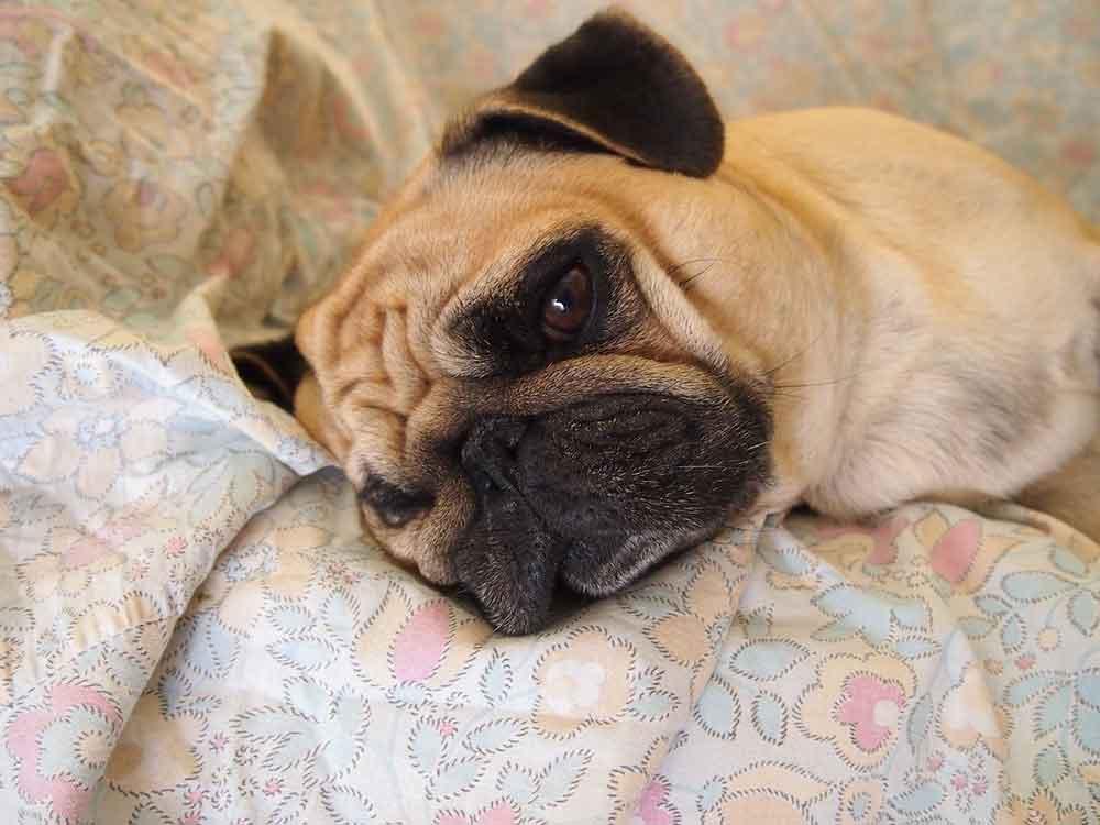 study dogs learned make sad eyes