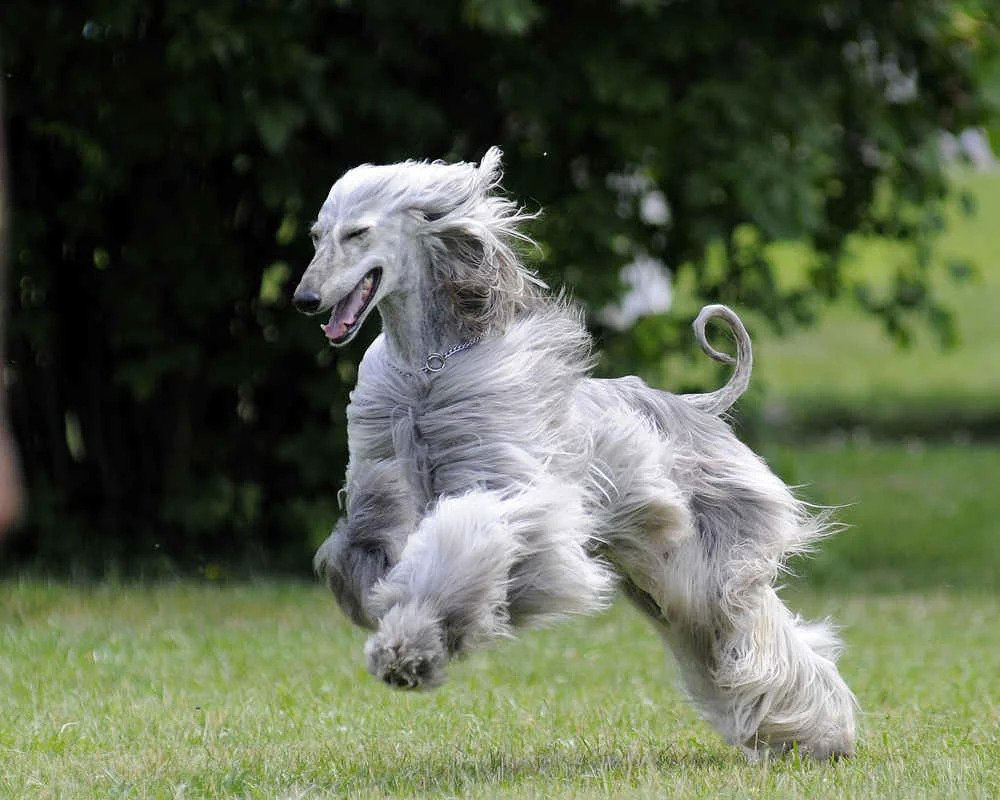 Afghan Hound facts