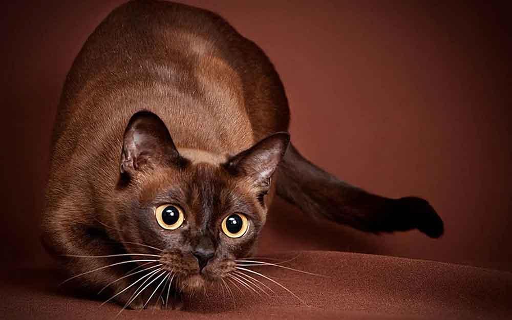 Cat Never Shed Burmese