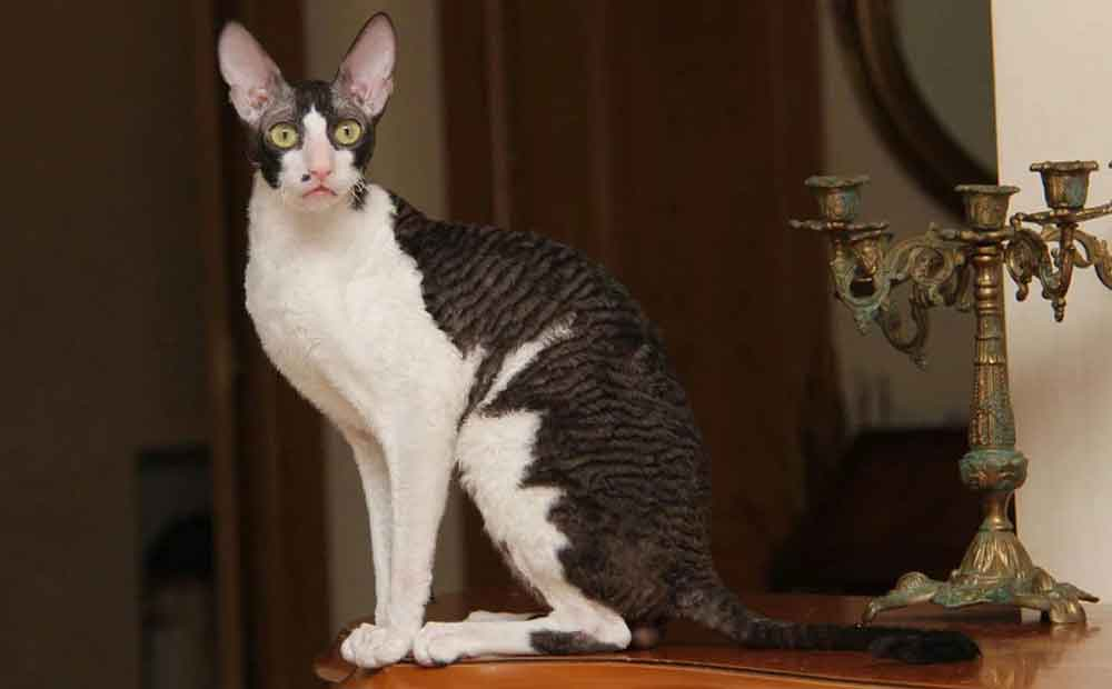 Cat Never Shed Cornish Rex