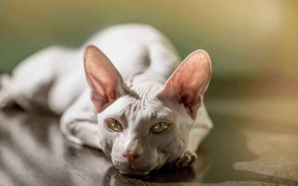 Cat Never Shed Donskoy cat - Don Sphynx