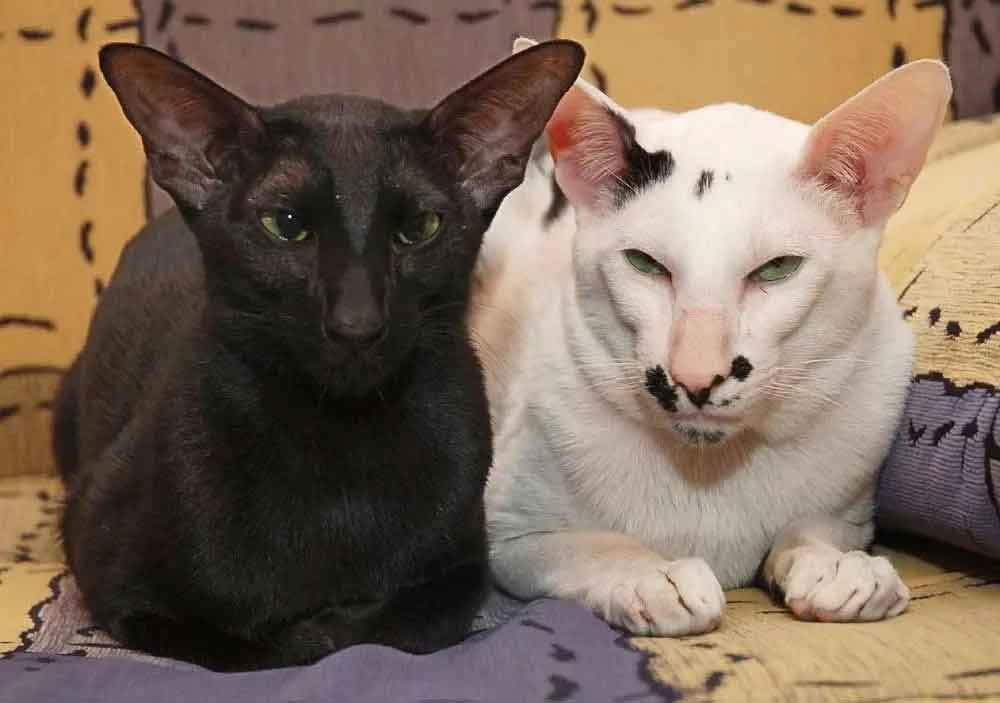 Cat Never Shed Oriental Shorthair