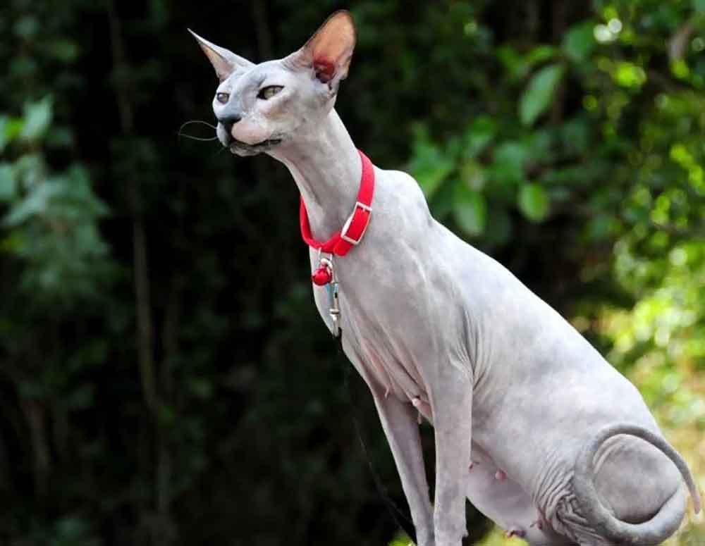 Cat Never Shed Peterbald cat – the Petersburg Sphynx