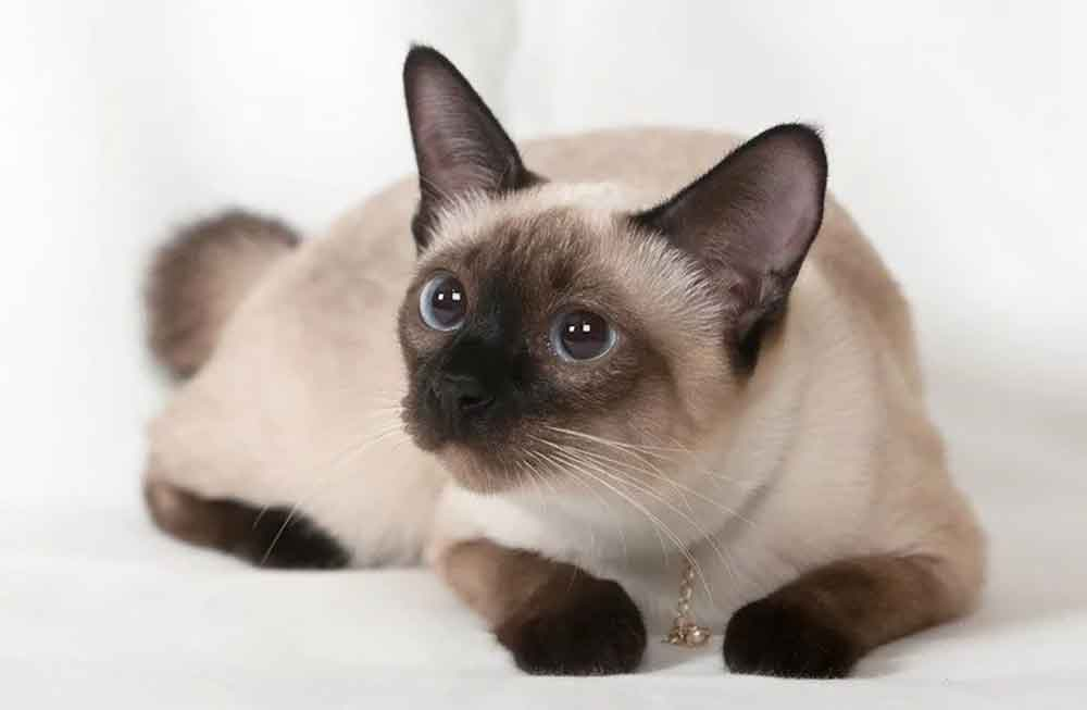 Cat Never Shed Siamese