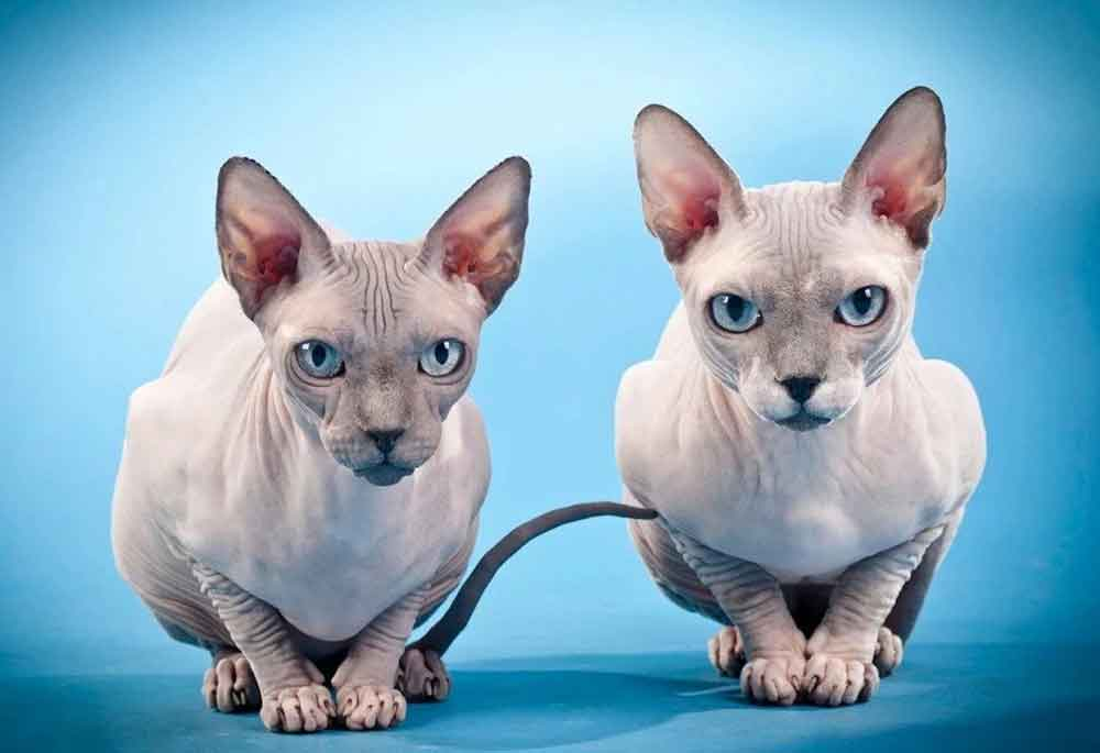 Cat Never Shed Sphynx cat