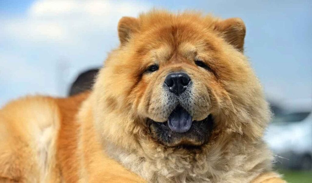 Chow-Chow Tongue