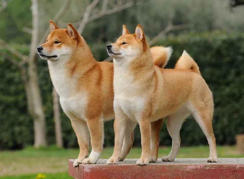 Dog Breeds Bark Little Akita Inu