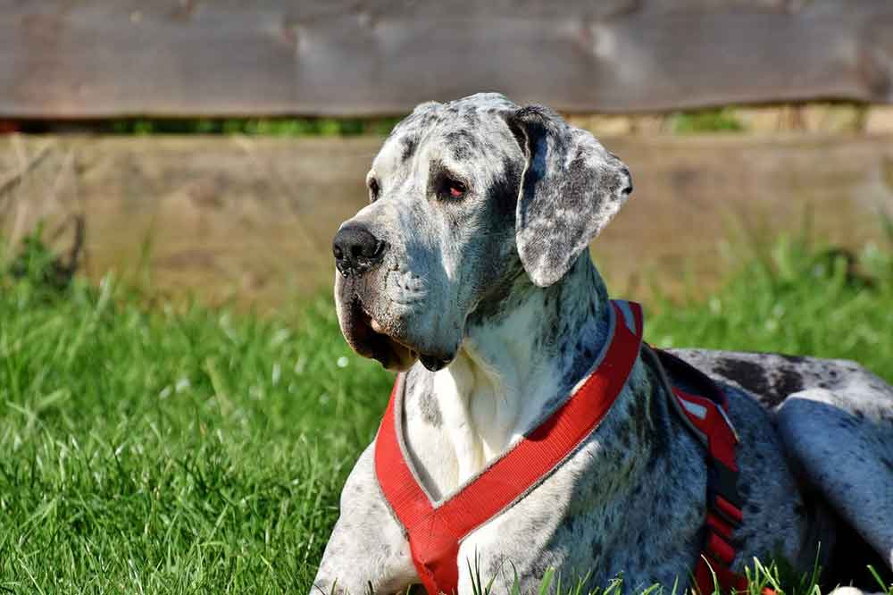Dog Breeds Bark Little Great Dane