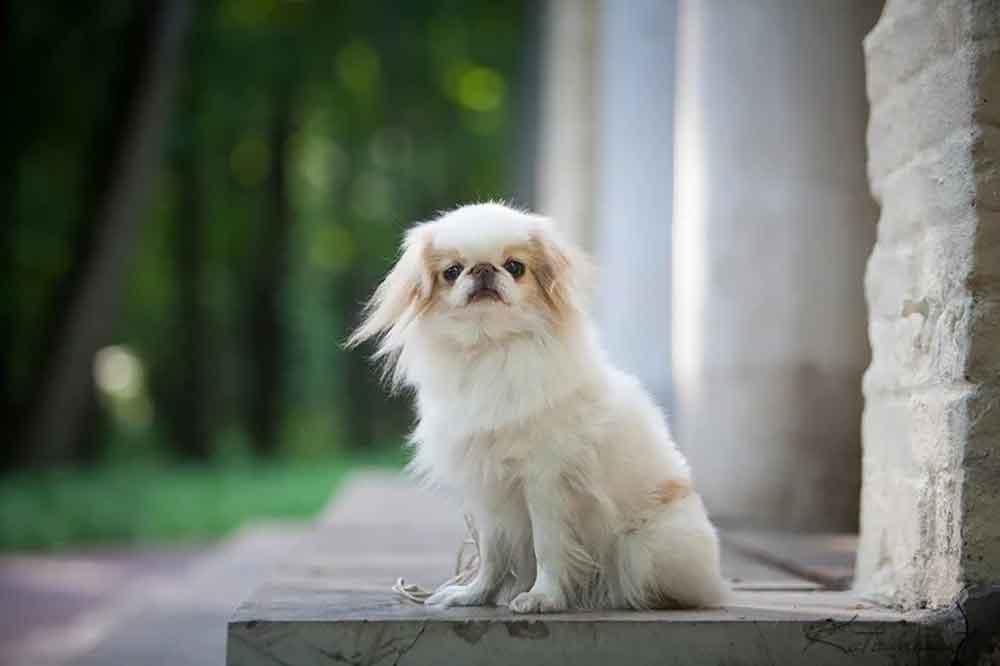 Dog Breeds Bark Little Japanese Chin
