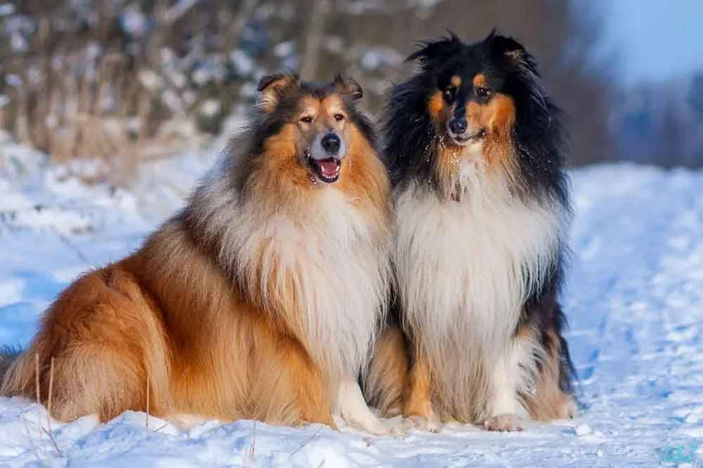 Dog Breeds Shed Heavily Collie