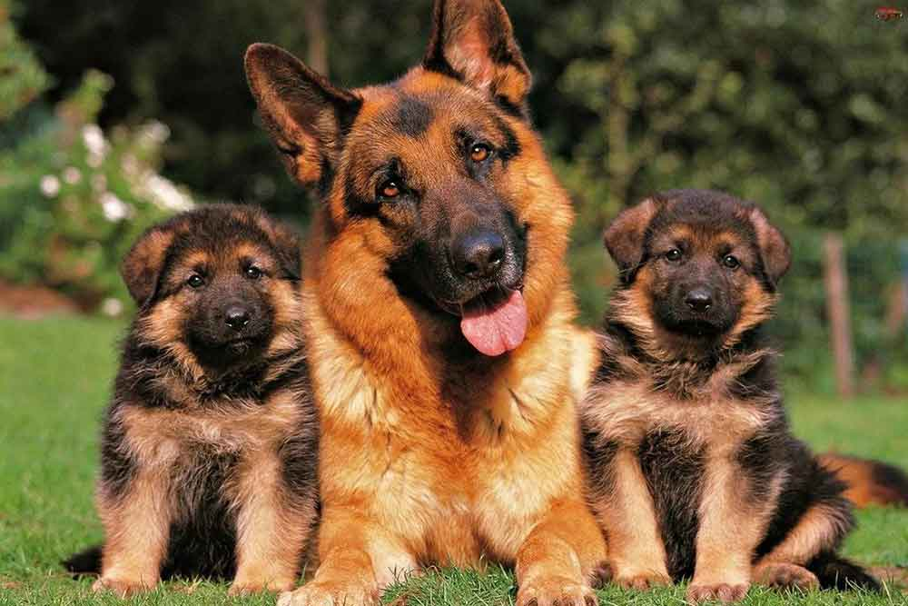 Dog Breeds Shed Heavily Newfoundland