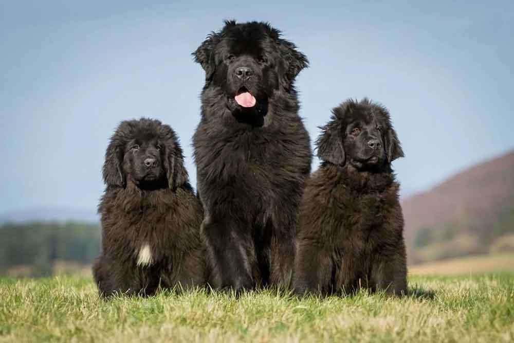Dog Breeds Shed Heavily German Shepherd