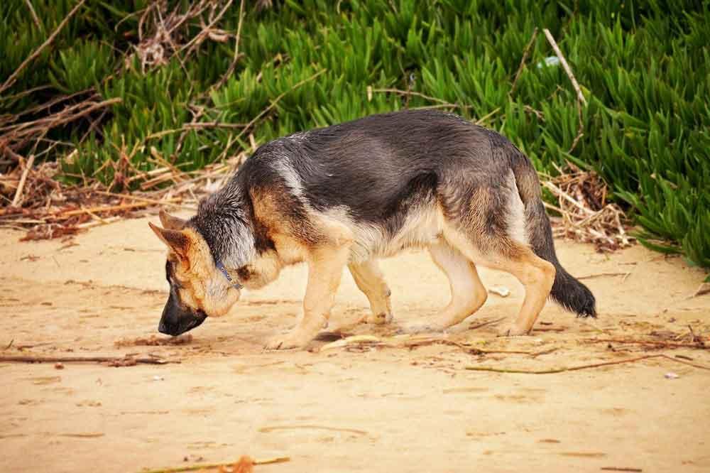 Dog Breeds Smell German Shepherd