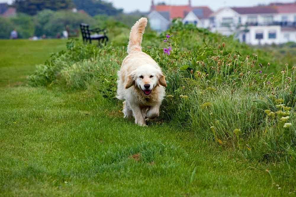 Dog Breeds Smell Golden Retriever