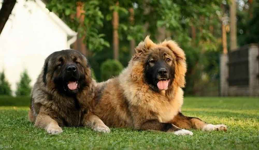 Molossian Caucasian Shepherd Dog